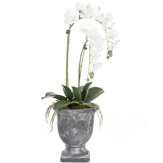 Picture of PHALAENOPSIS plant h84cm white