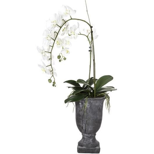 Picture of PHALAENOPSIS plant h110cm white