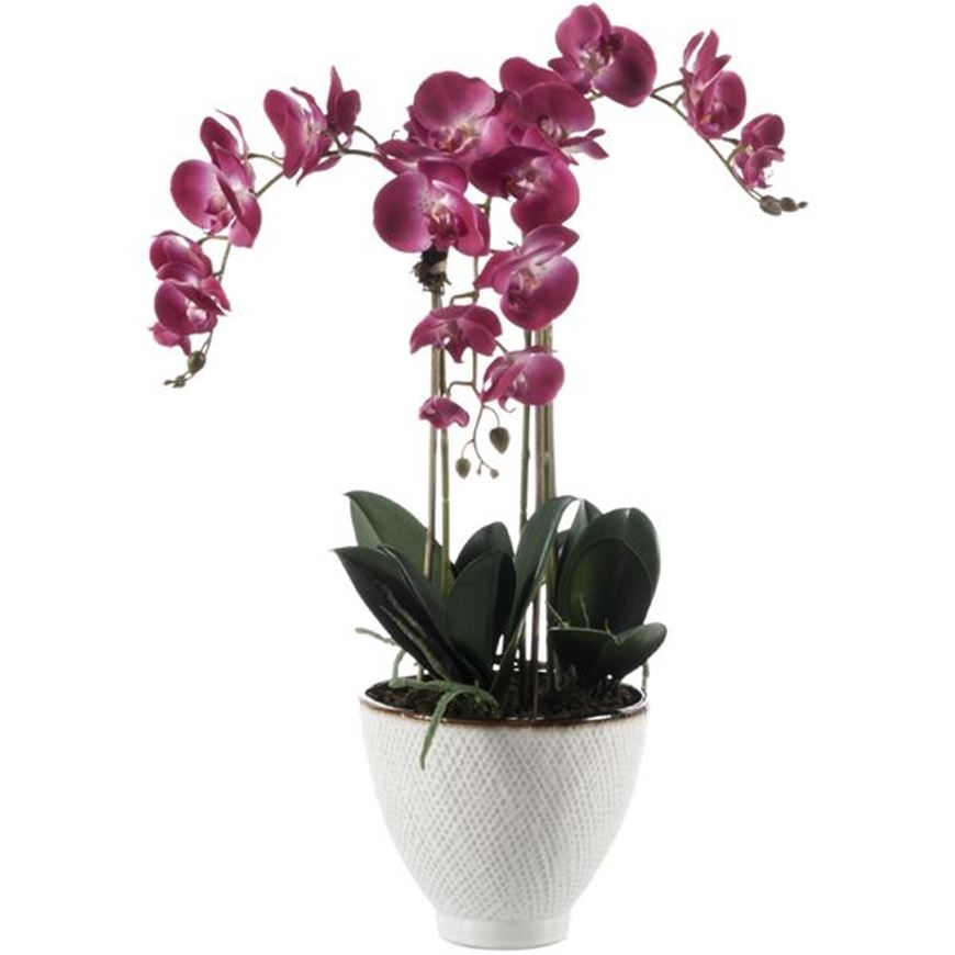 Picture of PHALAENOPSIS pot small purple/natural