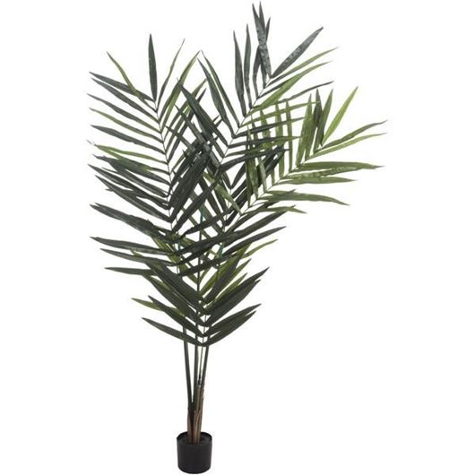 Picture of KENTIA palm tree h180cm green