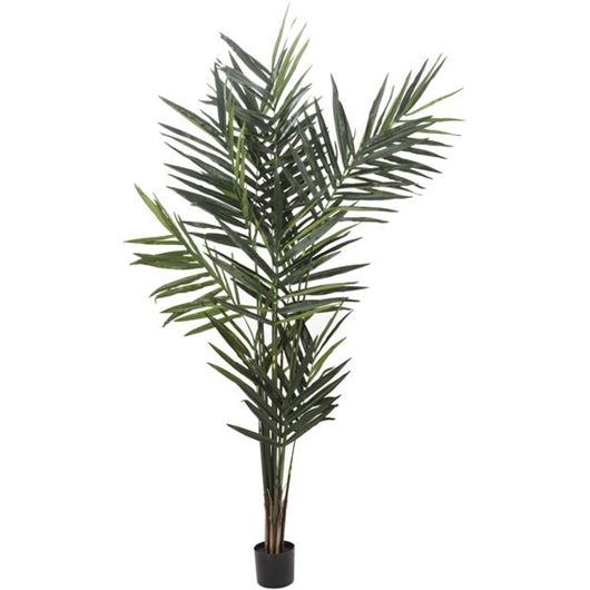 Picture of KENTIA palm tree h240cm green