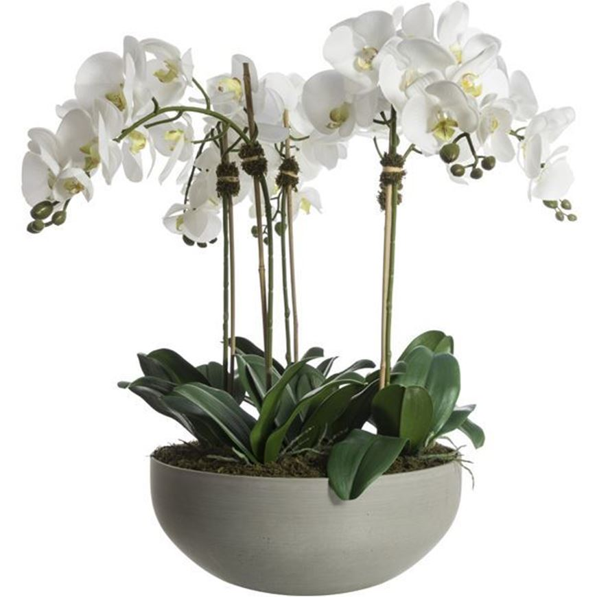 Picture of PHALAENOPSIS pot h75cm white/grey