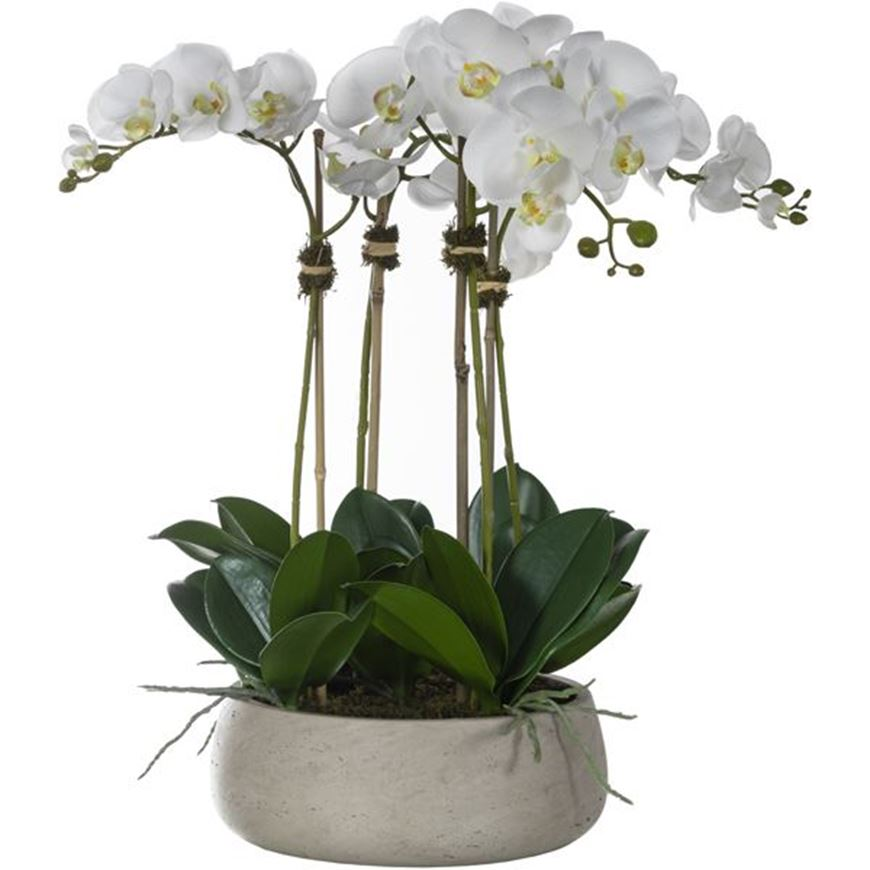 Picture of PHALAENOPSIS I pot h61cm white/assorted