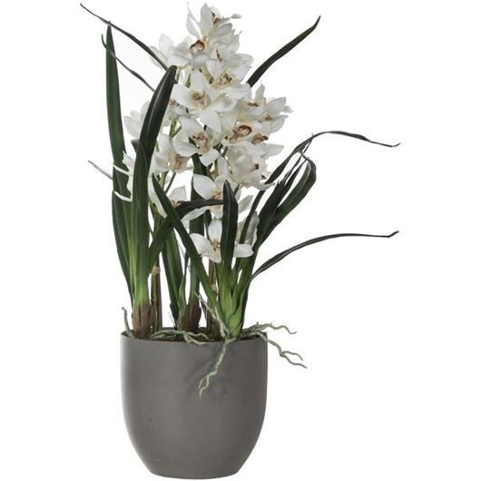 Picture of CYMBIDIUM pot h95cm white/brown
