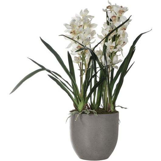 Picture of CYMBIDIUM pot h100cm white/brown