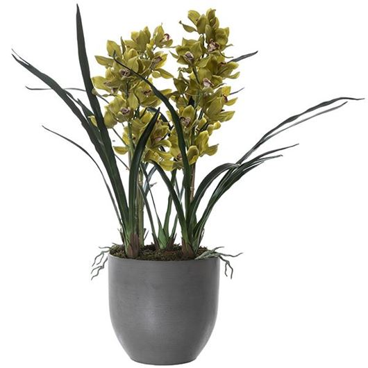 Picture of CYMBIDIUM pot h100cm green/brown