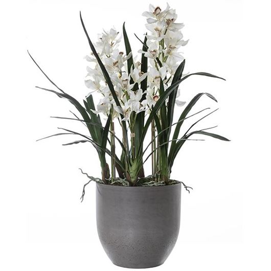 Picture of CYMBIDIUM pot h110cm white/brown