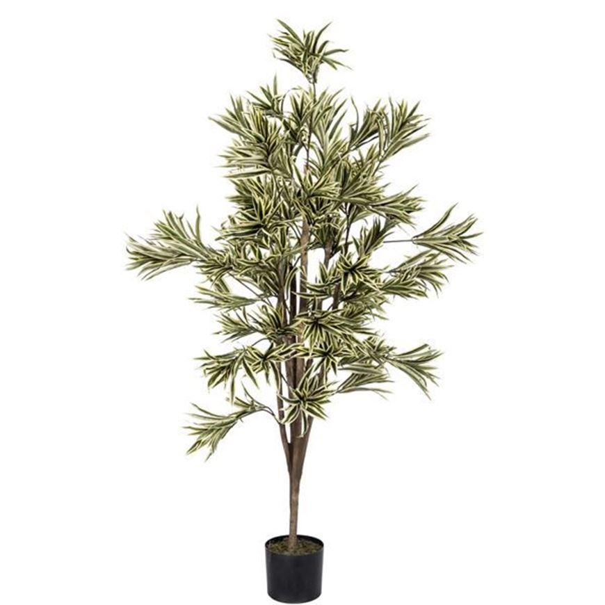 DRACAENA REFLEXA tree h180cm green